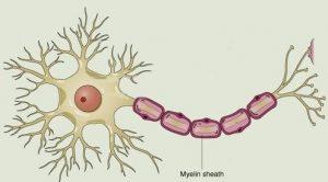 myelin - Dr. Dave Jensen